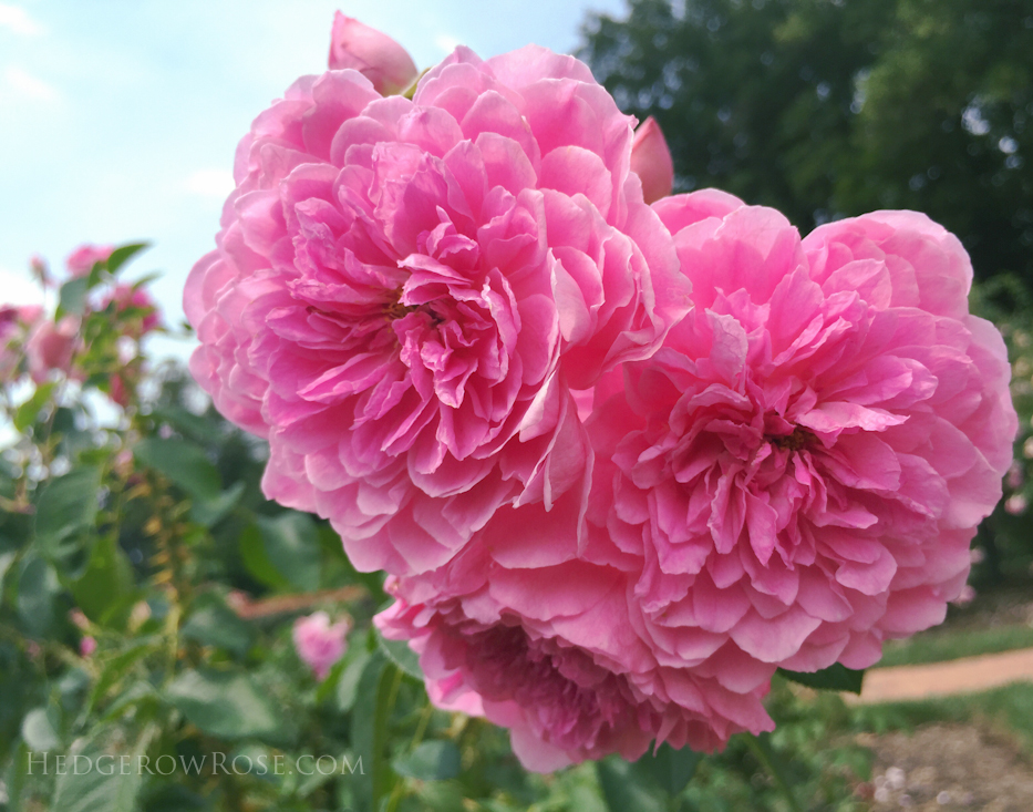 Biltmore Rose Garden via Hedgerow Rose Harlow Carr