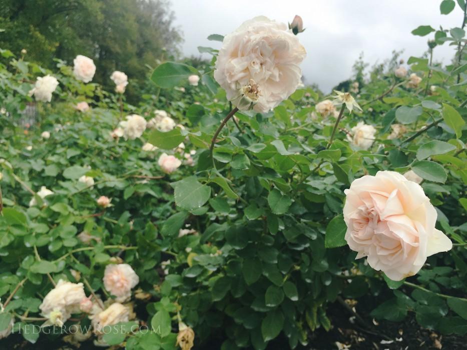 Biltmore - 2nd day of rose judging - Sept 2015-28
