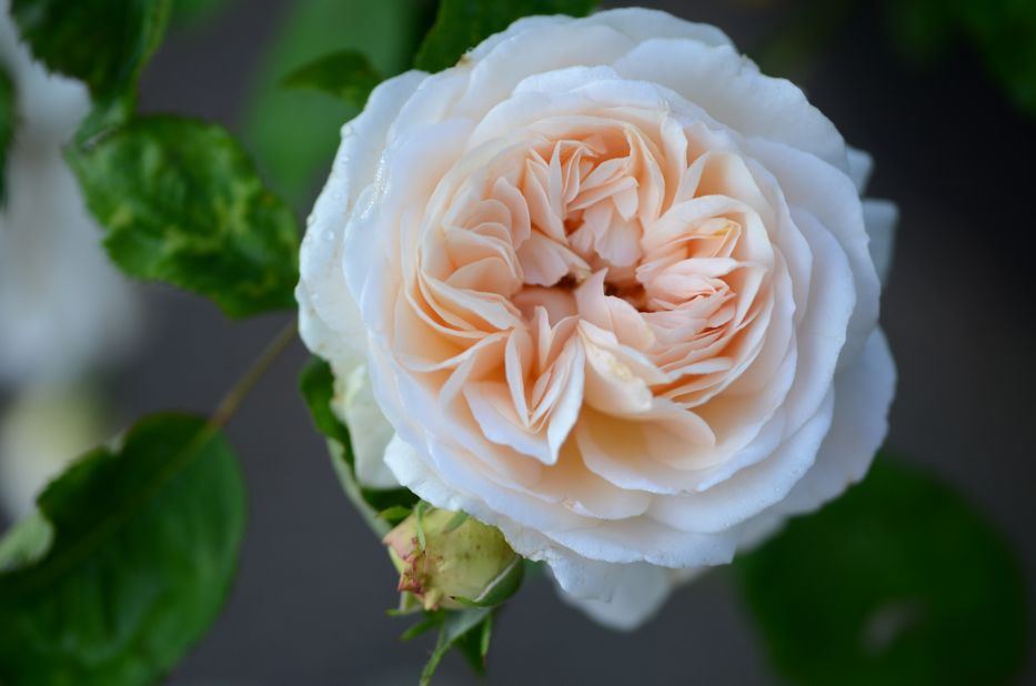 Gruss an Aachen E | Hedgerow Rose