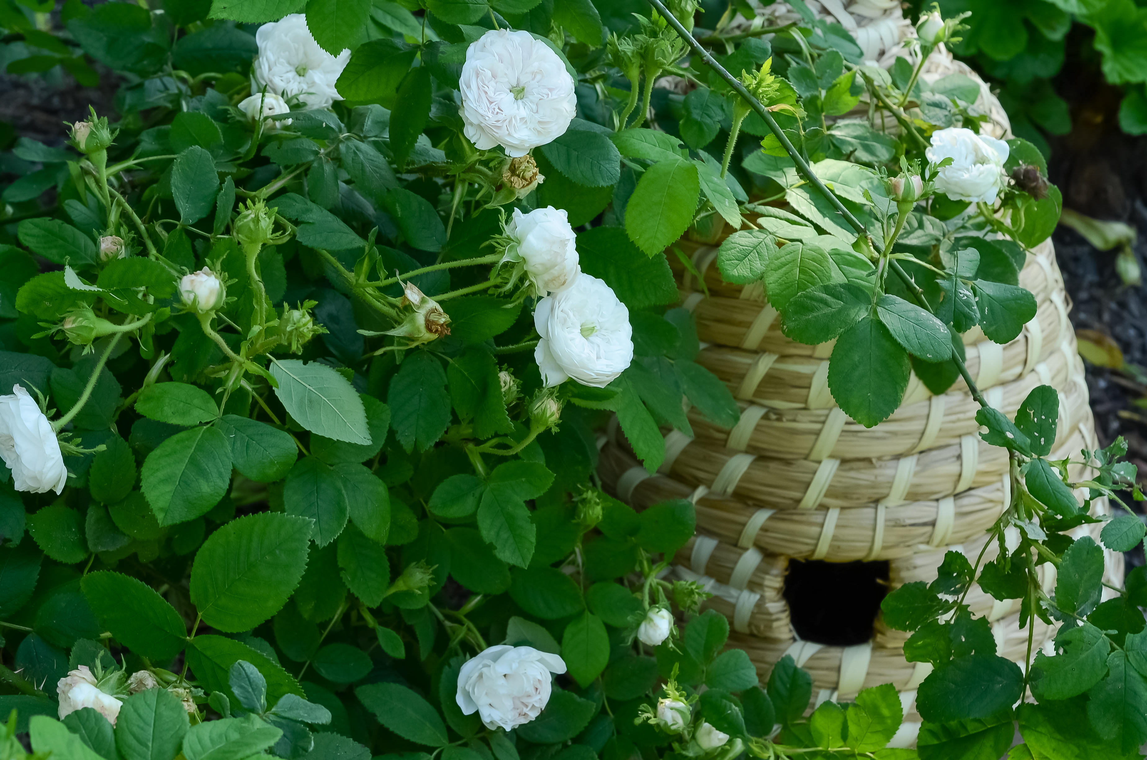 Roses and Bee Skep