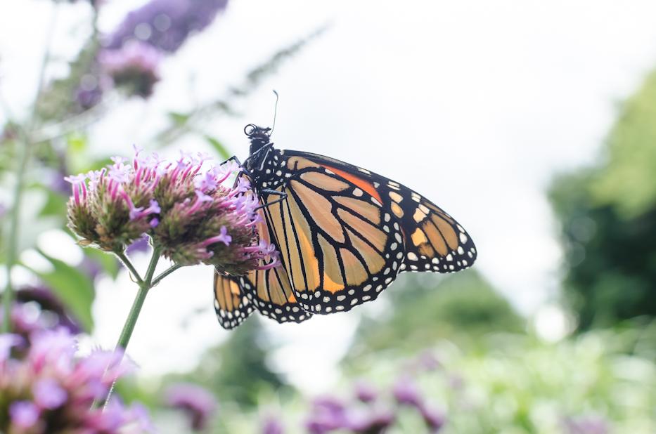 monarch 10-20-2
