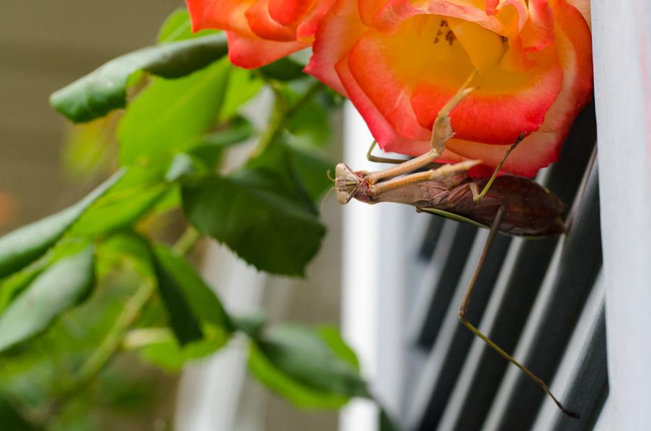 praying mantis in autumn 3