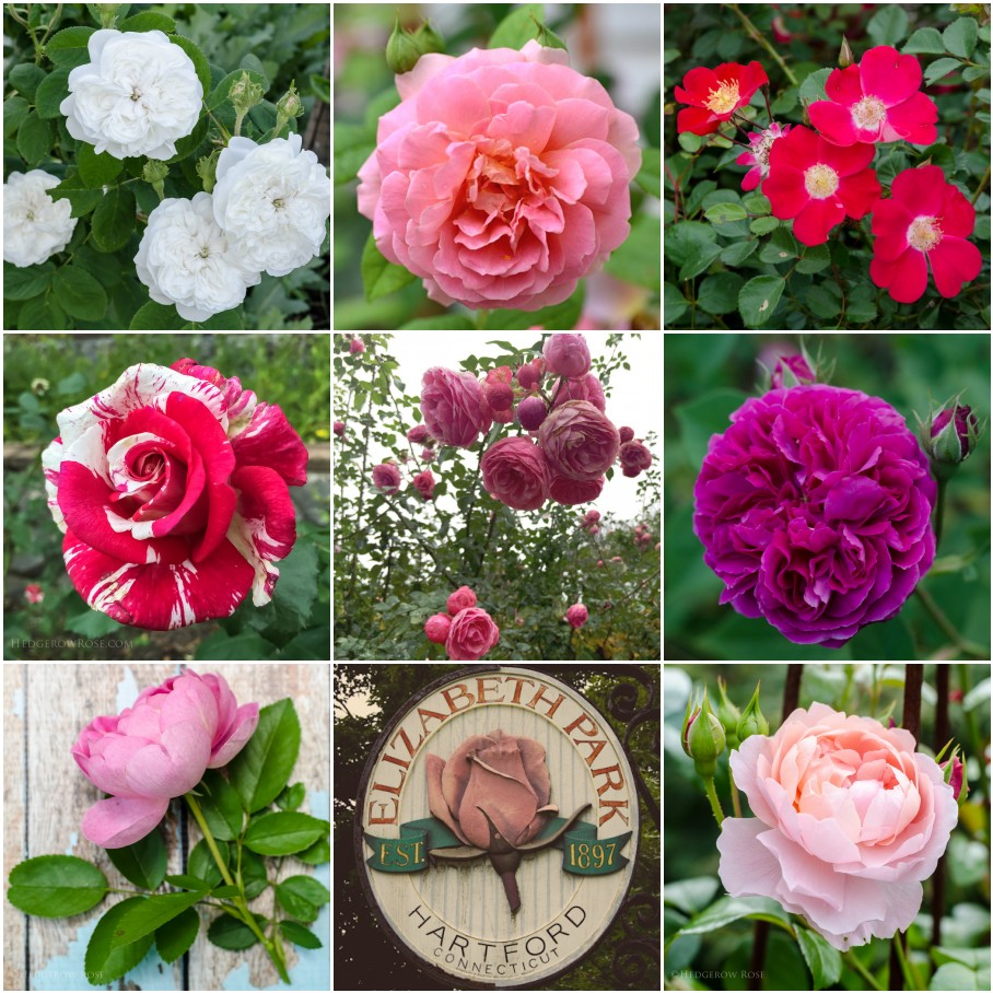 Examples of bloom forms in roses via Hedgerow Rose