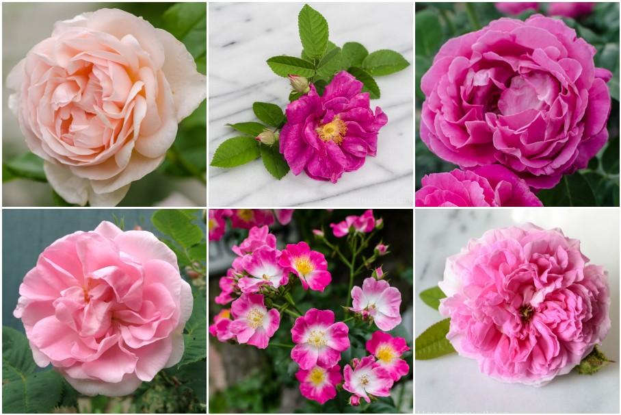 Rose Petal Count Quiz via Hedgerow Rose
