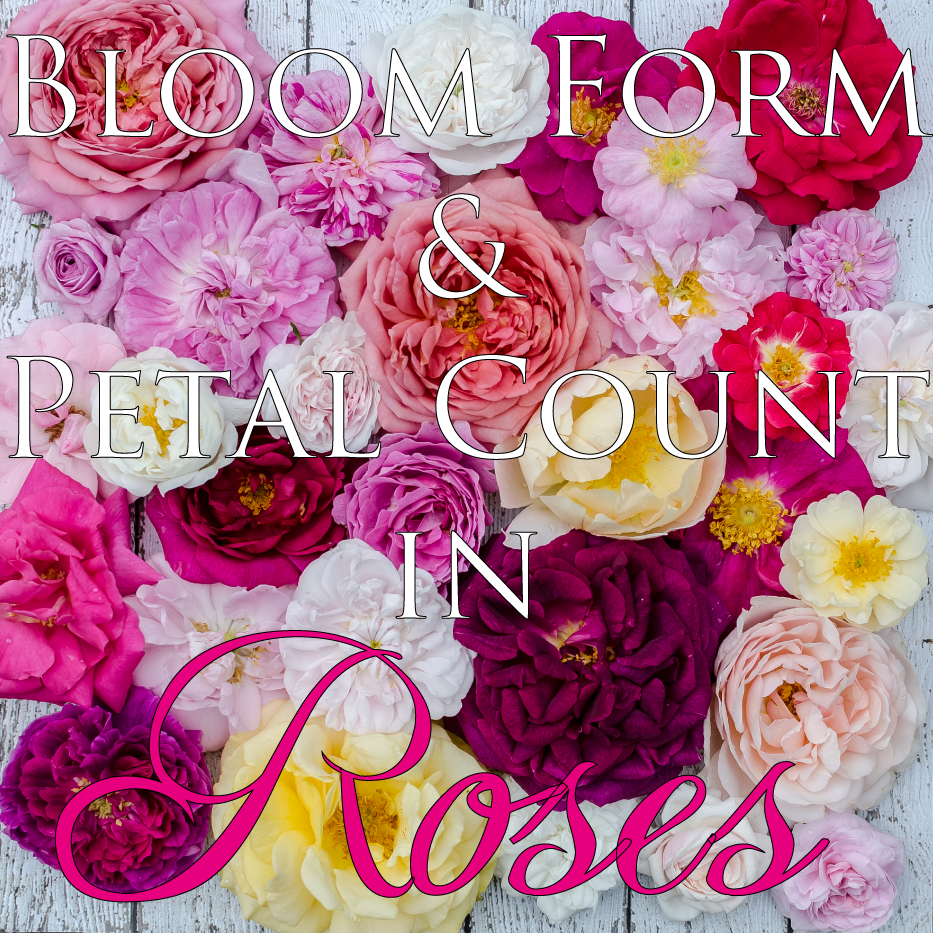 bloom-form-and-petal-count-in-roses-via-hedgerow-rose