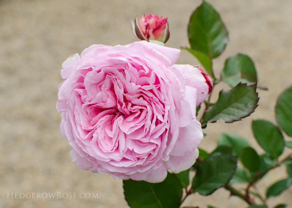 Summer Romance - Kordes Rose - Hedgerow Rose