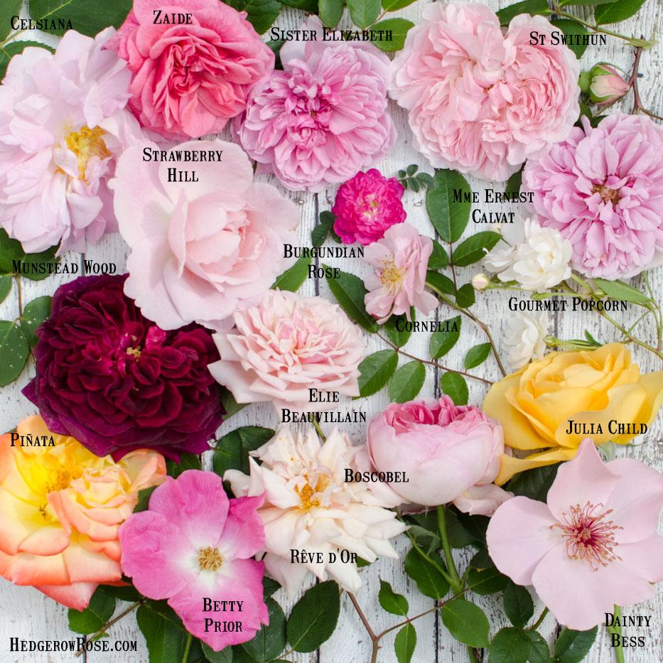 In-Bloom-May-2016-via-Hedgerow-Rose
