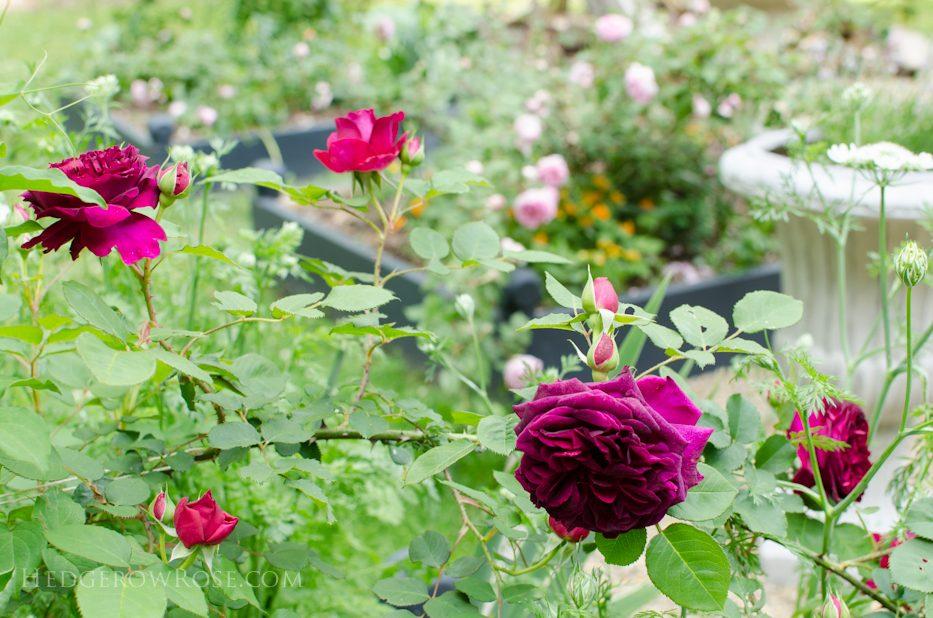 garden 5-17-16