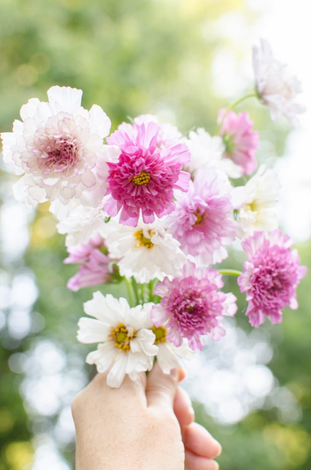 pink and white double click cosmos