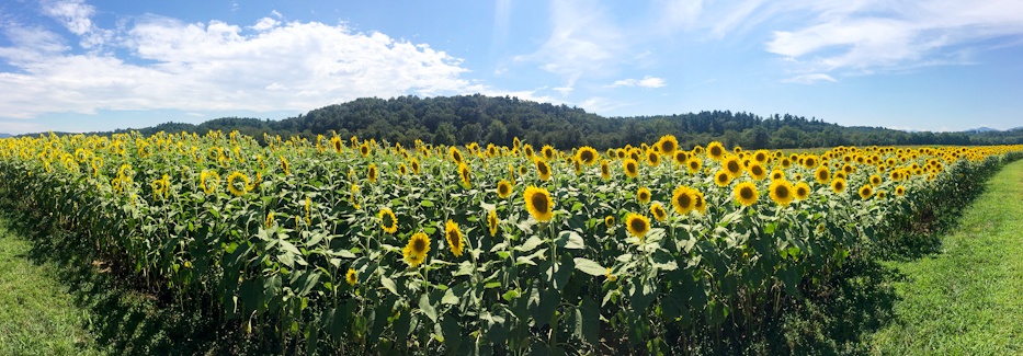 sunflowers, biltmore
