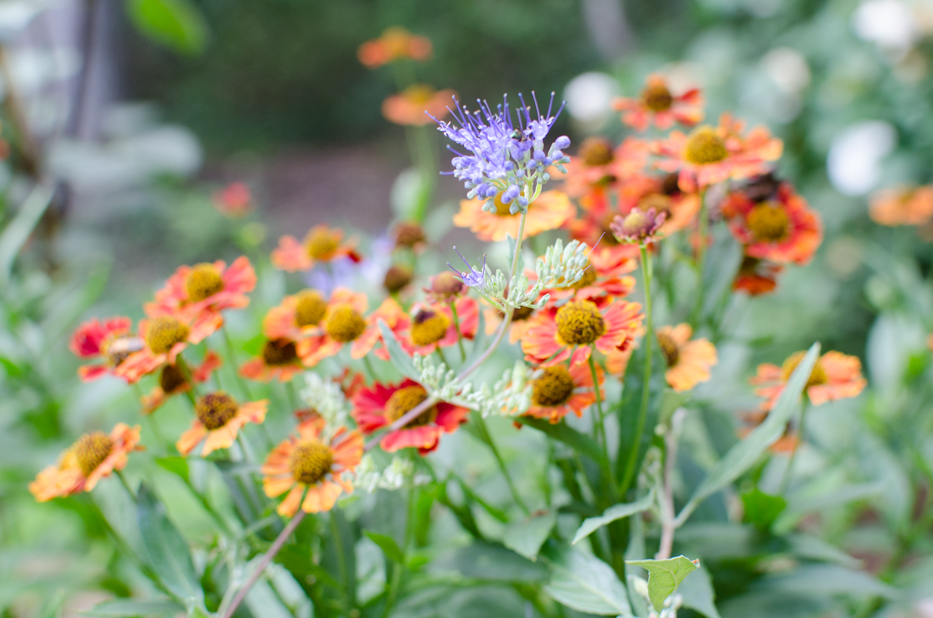 helenium and caryopteris