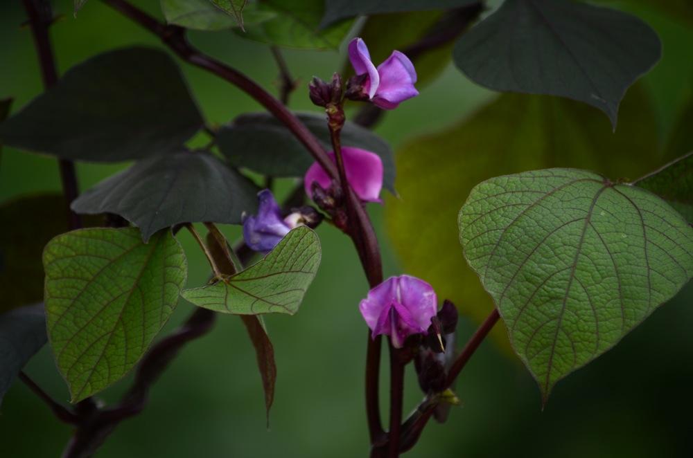 These look like hyacinth beans: Dolichos lablab