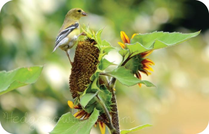 Nyjer Seed, Niger Thistle es ideal para atraer jilgueros