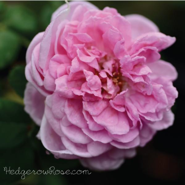 Types of roses comte de chambord a portland rose mightylinksfo