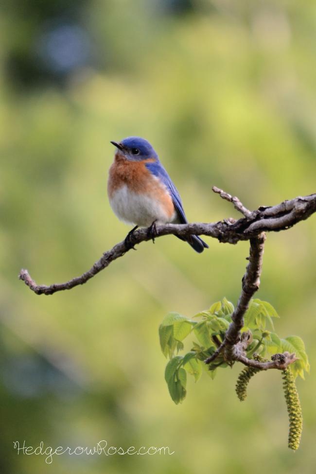 eastern-bluebird-butternut-tree