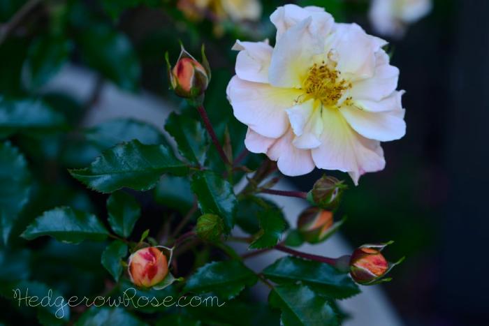 Flower Carpet Amber Groundcover Rose Monrovia