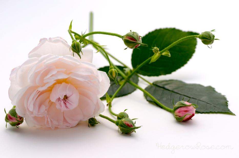 arcata-pink-globe-rose