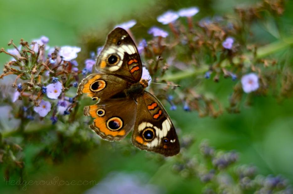 buckeye-butterfly-A