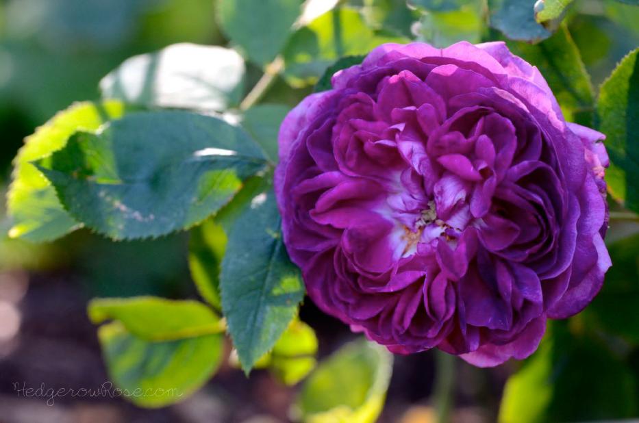 Growing Rose De Rescht Portland Damask Rose