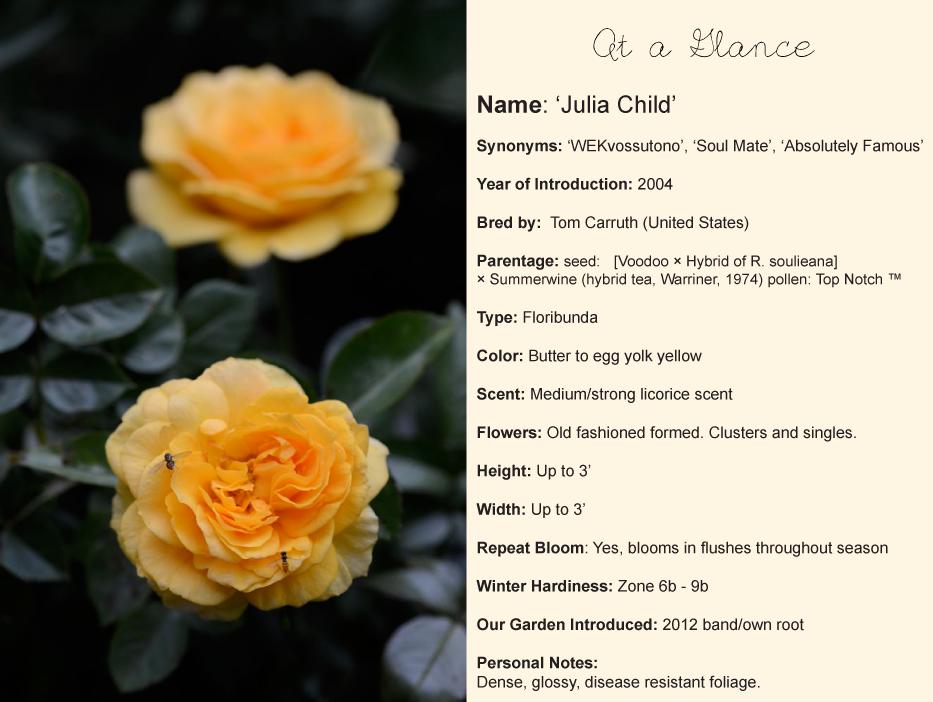 Julia-Child-Rose-At-a-Glance