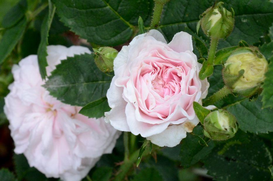 'Félicité Parmentier' roses