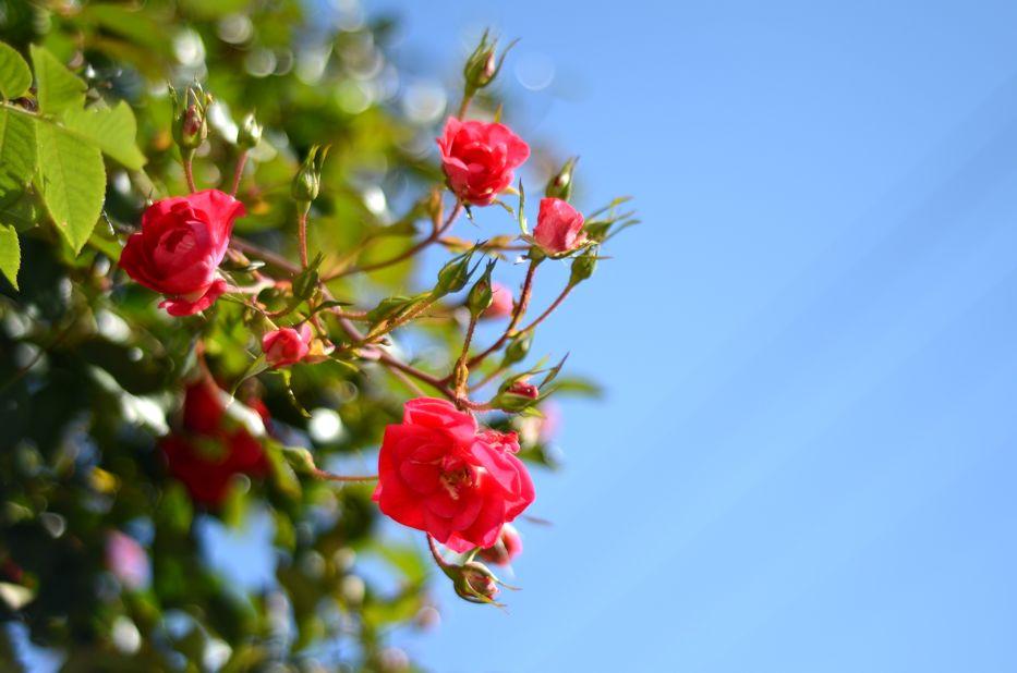 Flower Carpet Pink Supreme D | Hedgerow Rose
