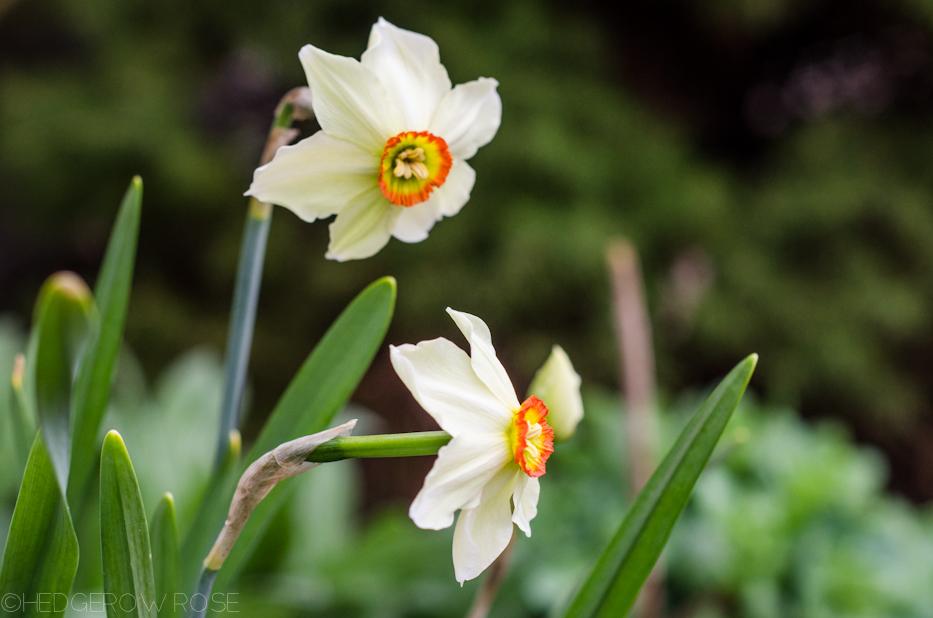 Poet's Daffodils 2