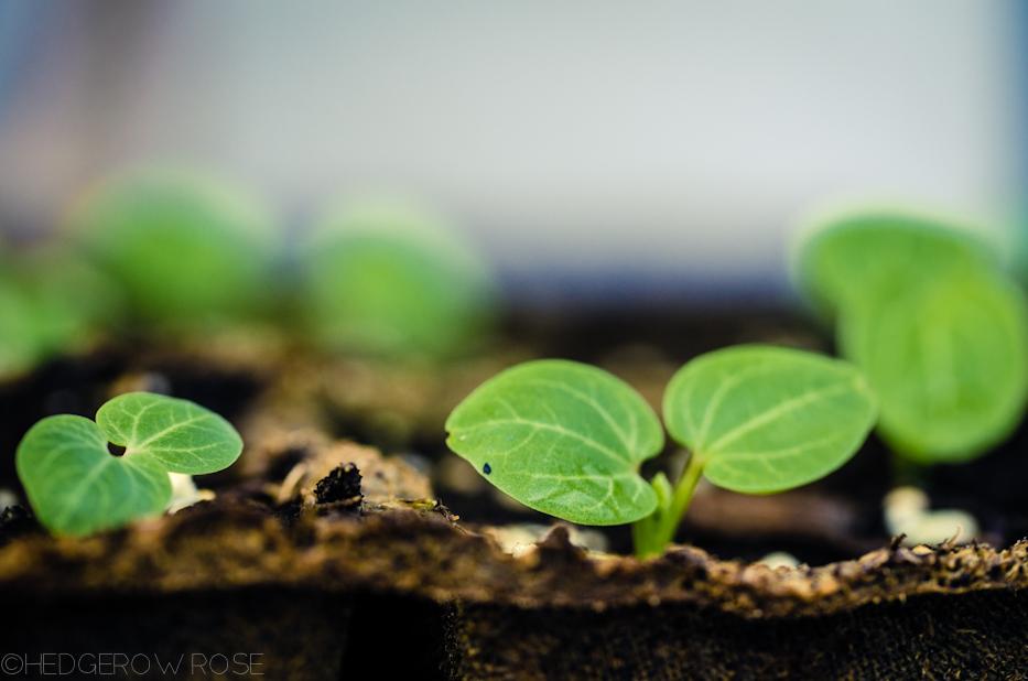 hollyhock seedlings 3