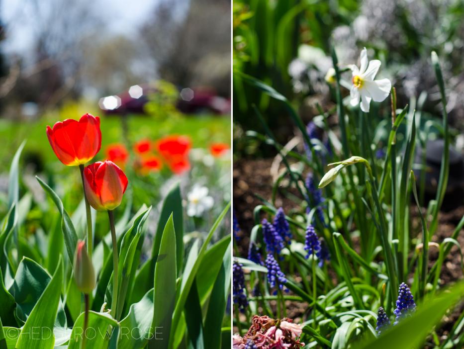 tulips-narcissus-muscari