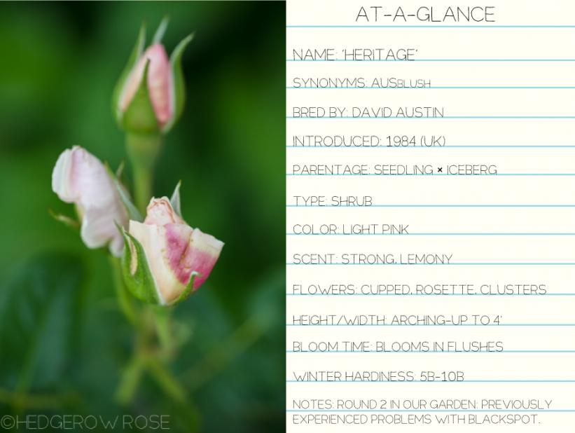 Heritage-David-Austin-rose-at-a-glance