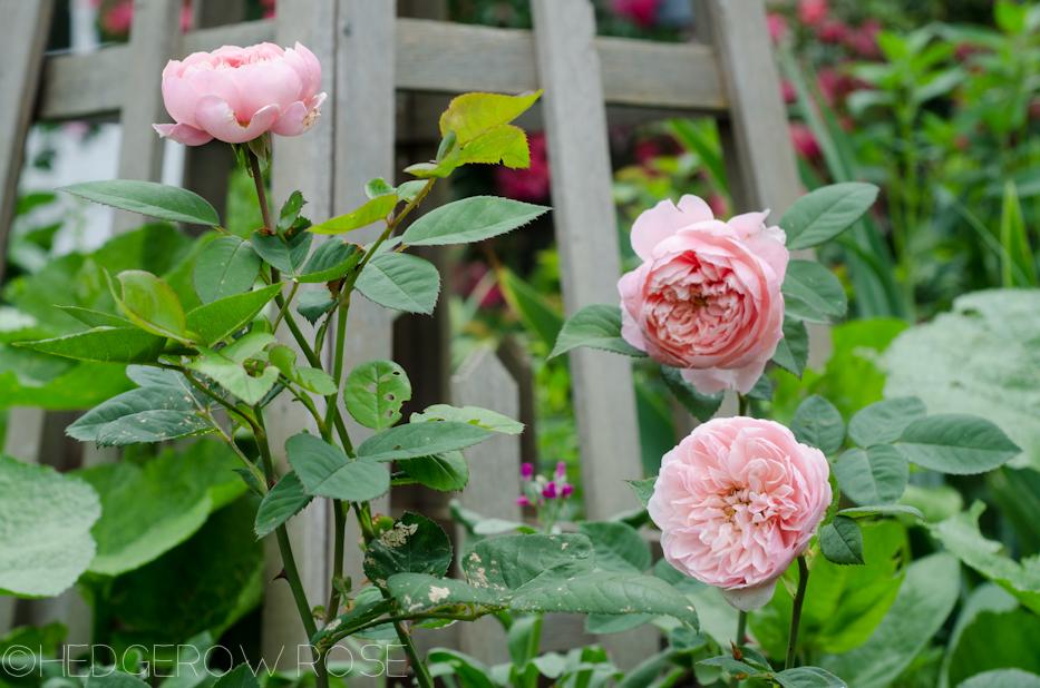 alnwick castle rose