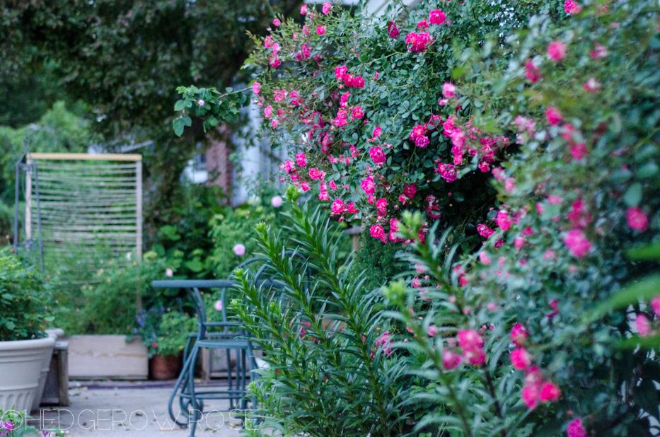 dusk roses