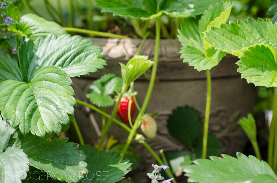strawberries beginning to ripen
