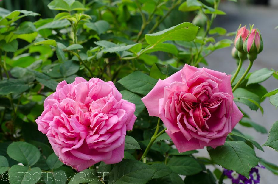 the endeavour david austin rose