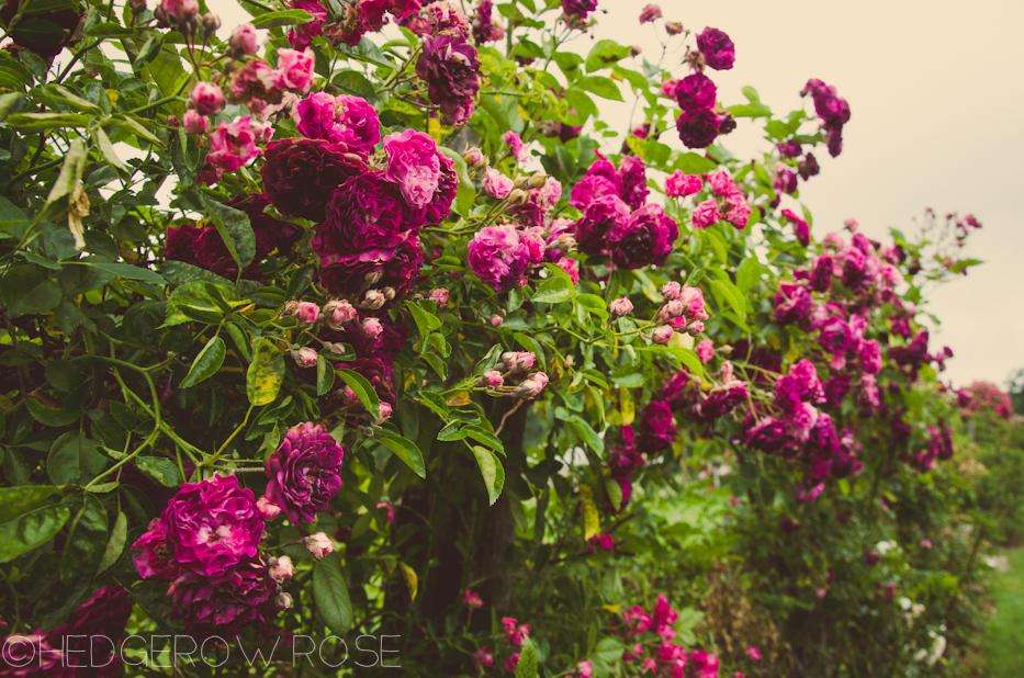 Elizabeth Park Rose Garden 1