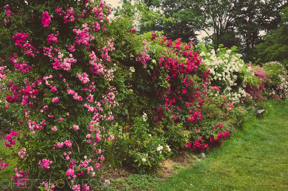 Elizabeth Park Rose Garden 12