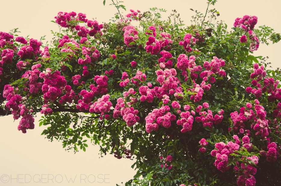 Elizabeth Park Rose Garden 13
