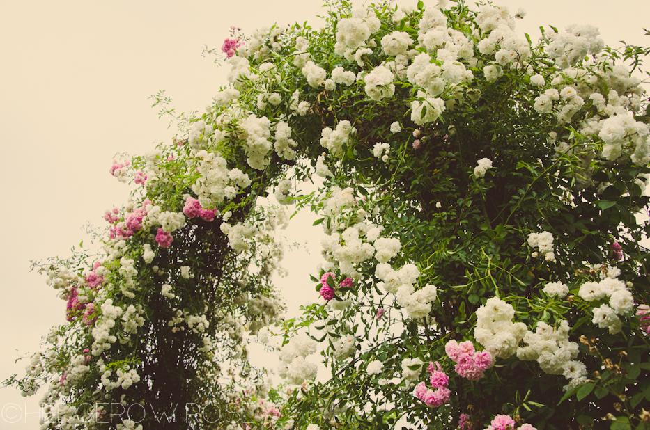 Elizabeth Park Rose Garden 20