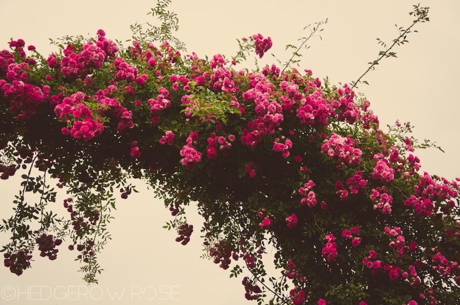 Elizabeth Park Rose Garden 28
