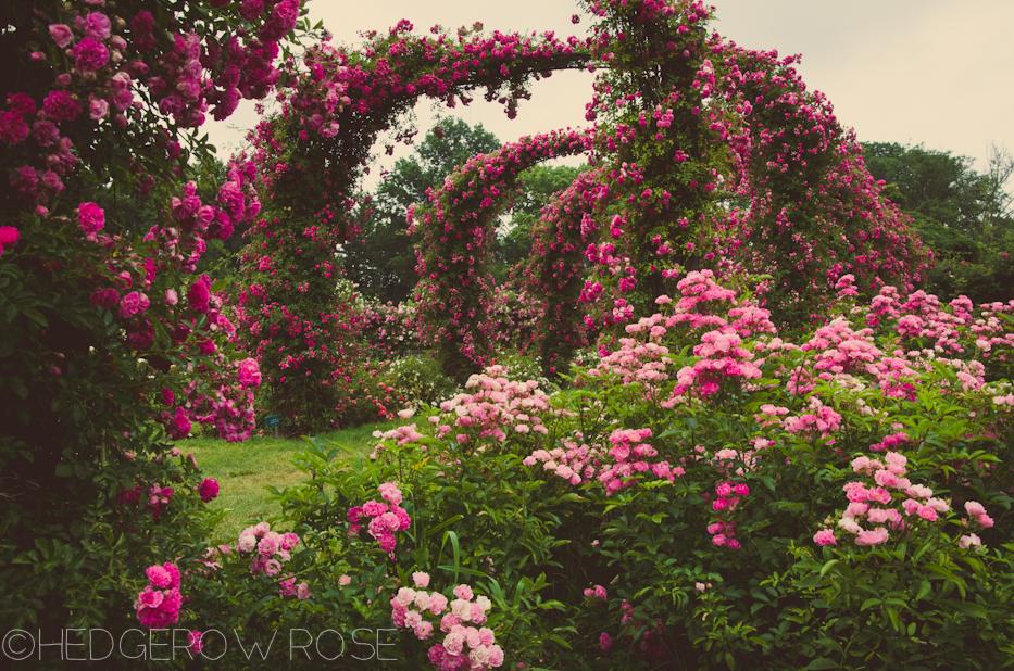 Elizabeth Park Rose Garden 34