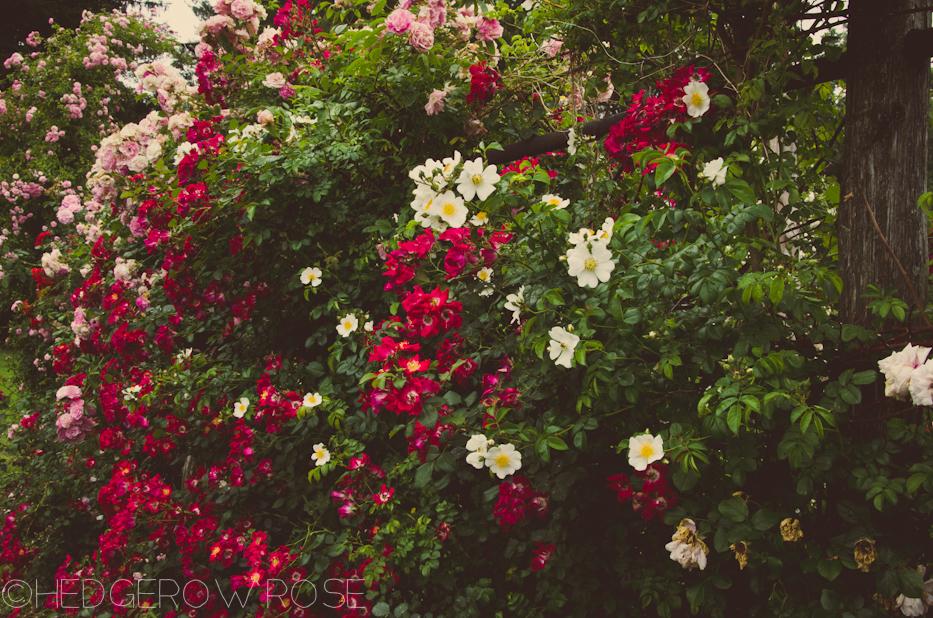 Elizabeth Park Rose Garden 38