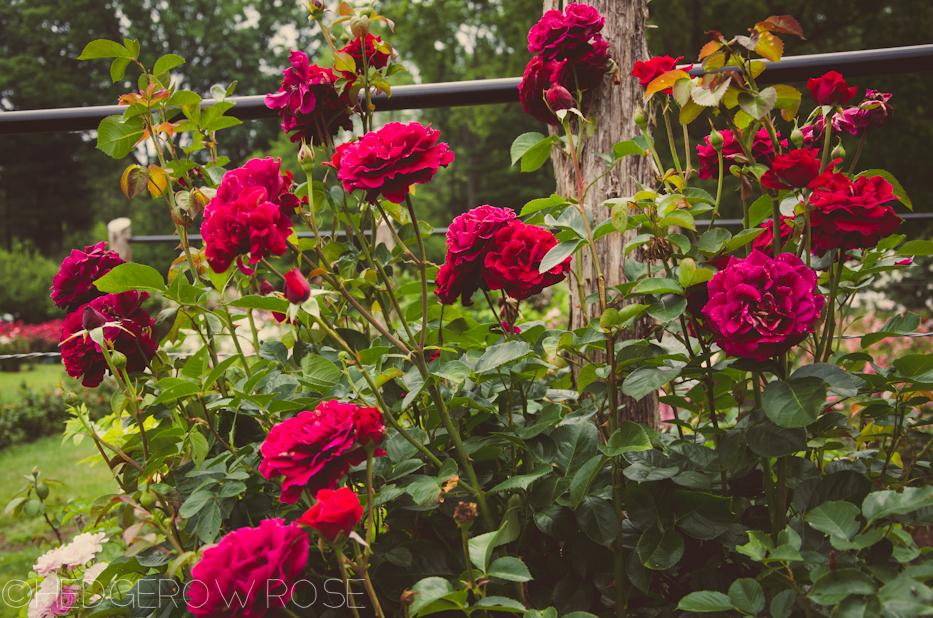 Elizabeth Park Rose Garden 43