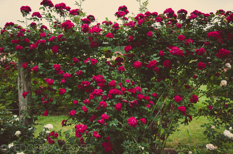 Elizabeth Park Rose Garden 47