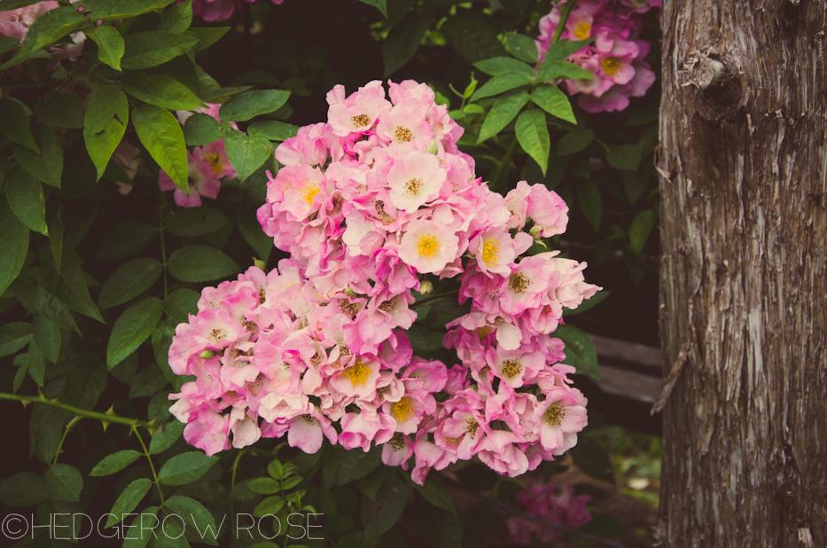 Elizabeth Park Rose Garden 9