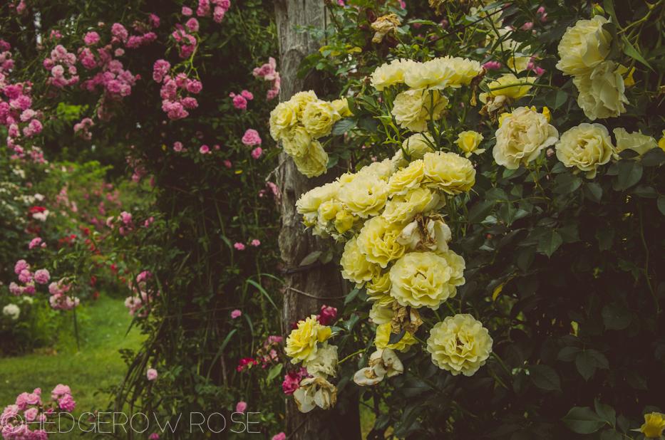 Elizabeth Park Rose Garden In Hartford Connecticut