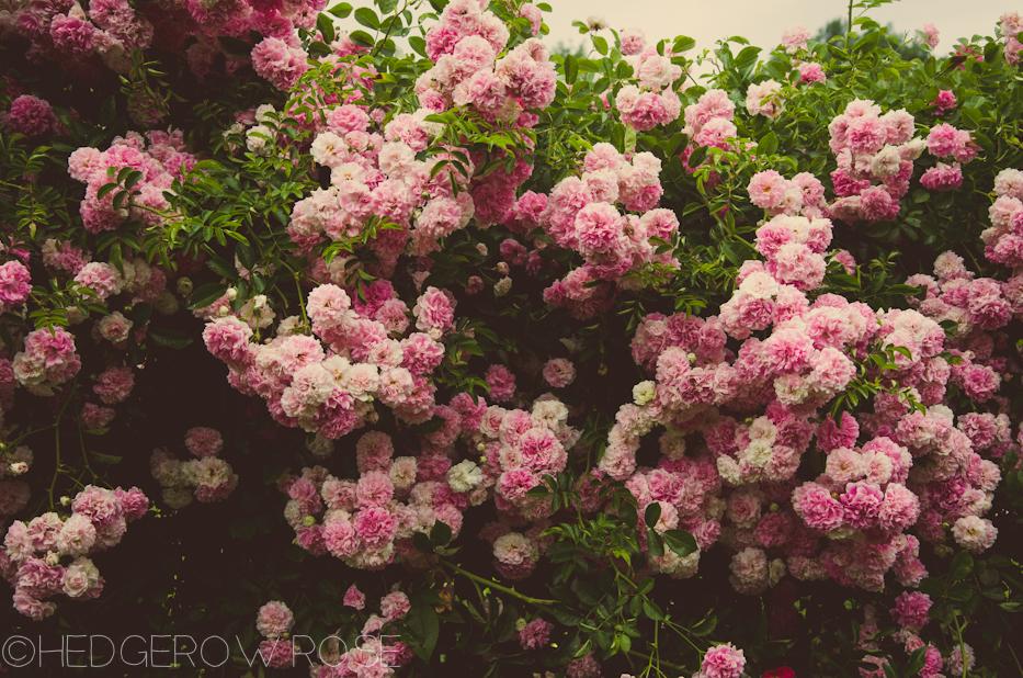 elizabeth park pink roses | Hedgerow Rose