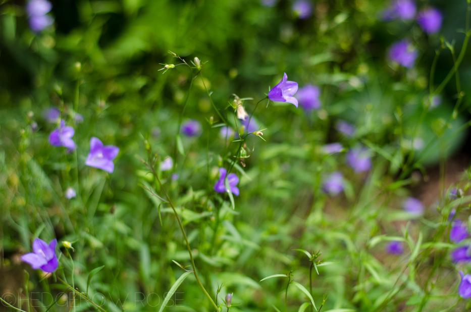 campanula in mom's garden