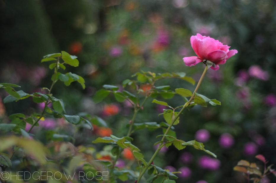 Heart Shaped Rose | Princess Alexandra of Kent 4 | Hedgerow Rose