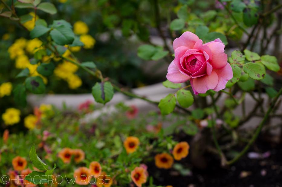 Heart Shaped Rose | Princess Alexandra of Kent 6 | Hedgerow Rose