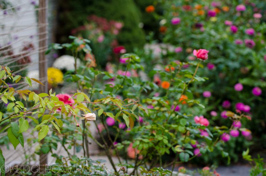 Heart Shaped Rose | Princess Alexandra of Kent 8 | Hedgerow Rose